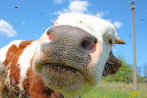 Europe's 'Sacred Cow': Should The Common Agricultural Policy Be Culled?