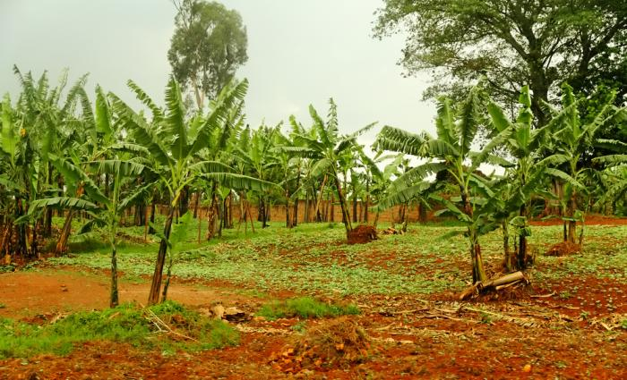 Poor Rwanda farmers have not been able to comply with the 'Green Revolution'.